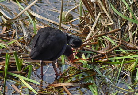 A Purple Swamphens (Porphyrio porphyrio) with a young chick