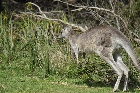 Eastern Grey Kangaroo (Macropus giganteus) starting a leap