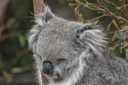 Koala (Phascolarctos cinereus) close up of head Stock Photo