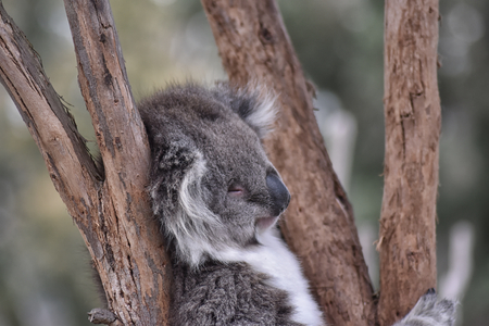 Koala (Phascolarctos cinereus) snozzing in a tree