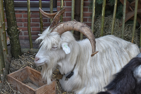 Male long haired goat with large curling horns Stock Photo - 94713539