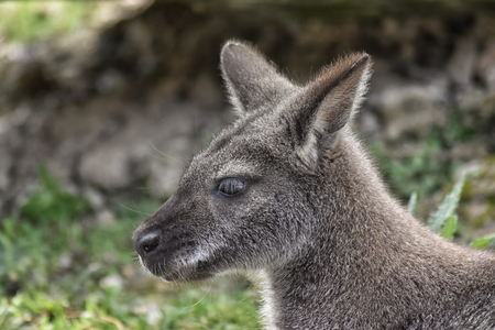 Red kangaroo (Macropus rufus) close up of head, side view Stock Photo