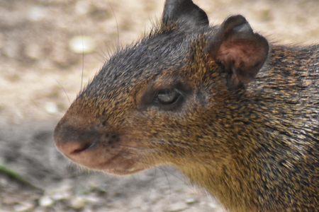 Red-rumped agouti (Dasyprocta leporina) close up, side view of head. Campo de Santana, Rio de Janeiro