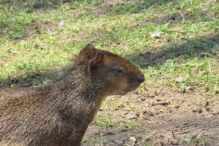 Red-rumped agouti (Dasyprocta leporina) close up, side view. Campo de Santana, Rio de Janeiro Stock Photo - 94923605