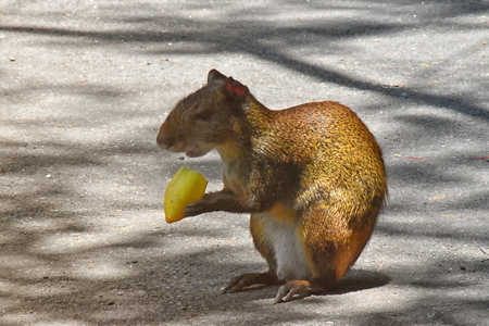 Red-rumped agouti (Dasyprocta leporina) feeding on fruit. Campo de Santana, Rio de Janeiro Stock Photo