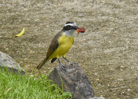 A Great kiskadee (Pitangus sulphuratus) perched on a small rock, with a fruit from a Royal Palm in its bill. Stock Photo