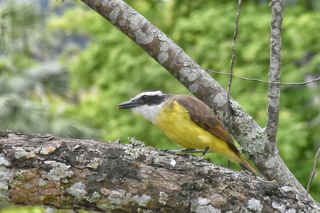 A Great kiskadee (Pitangus sulphuratus) perched on a lichen covered branch. Side view.