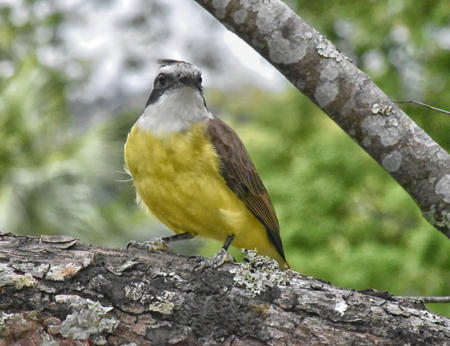 A Great kiskadee (Pitangus sulphuratus) perched on a lichen covered branch. Facing the camera, oblique view.