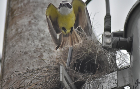 A Great kiskadee (Pitangus sulphuratus) flying from a nest built in an electricity pylon