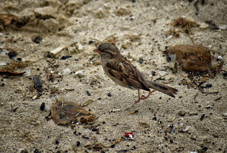 House Sparrow (Passer domesticus) on the beach at Buzios. Caught at moment of take off, both feet in the air but before spreading wings.