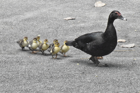 A Muscovy duck with seven ducklings, walking through a park in Rio De Janeiro