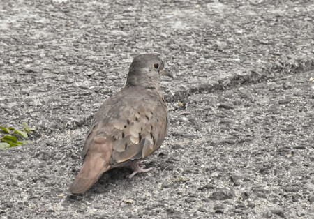 A Ruddy ground dove (Columbina talpacoti). Close up of oblique rear view, head turned to one side.