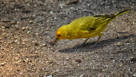 Saffron finch (Sicalis flaveola) extracting seeds from a small cone. Side view Stock Photo