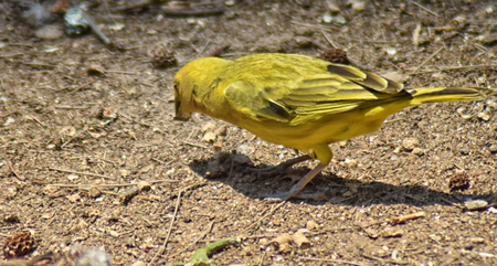 Saffron finch (Sicalis flaveola) collecting seeds. Rear view