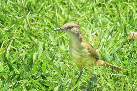 Cattle Tyrant (Machetornis rixosa). Close up of bird standing in grass, facing side on to the camera. Stock Photo