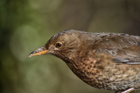 Blackbird (Turdus merula) female, close up of head and shoulders Stock Photo