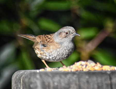 Dunnock (Prunella modularis) also known as a hedge sparrow, perched side on a wooden post Stock Photo