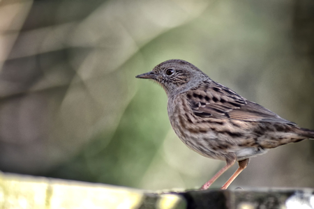 Dunnock (Prunella modularis) also known as a hedge sparrow, perched side on to the camera