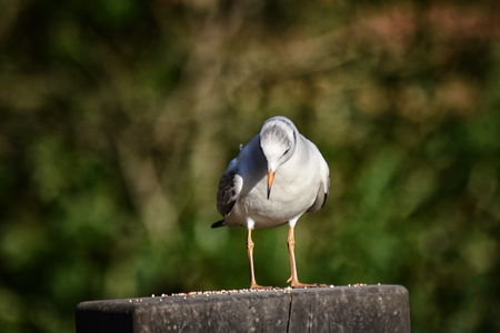 Little Gull  (Hydrocoloeus minutus) in winter plumage, standing on a wooden post Stock Photo
