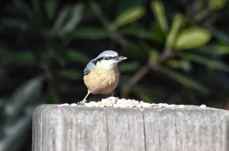 Nuthatch (Sitta europaea) perched on a wooden post