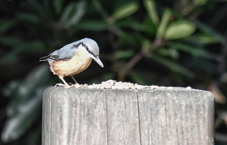 Nuthatch (Sitta europaea) perched on a wooden post Stock Photo - 95846423