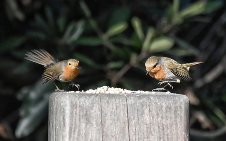 Two Robins (Erithacus rubecula) landing at a feeding post at the same time