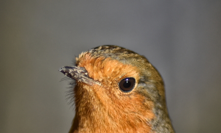 Robin (Erithacus rubecula) close up of head