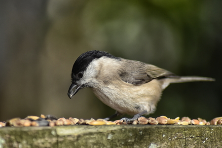 Willow tit (Poecile montanus) selecting a seed Stock Photo - 96107440
