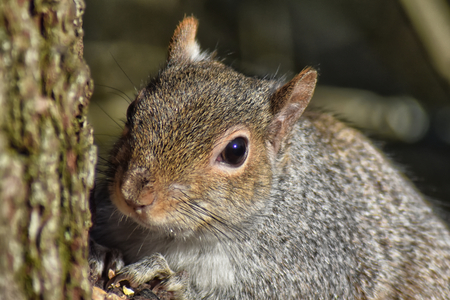 Grey Squirrel (Sciurus carolinensis) close up of squirrel on a tree trunk Stock Photo - 95837282