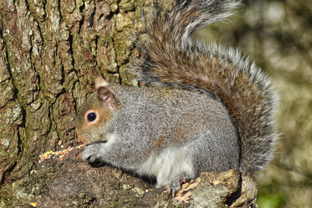 Grey Squirrel (Sciurus carolinensis) close up of squirrel on a tree trunk Stock Photo - 96107442