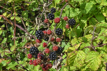 A close up of wild blackberries, bramble (Rubus fruticosus), showing ripe and ripening fruit