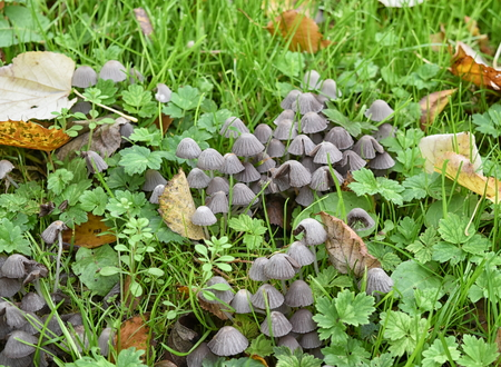 Bonnet mushrooms growing in grass, probably drab bonnet (Mycena aetites) Stock Photo
