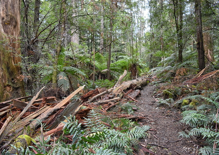Cumberland walk, Victoria. A tree has fallen and smashed a clear path through the temperate rain forest.orest Stock Photo - 96485890