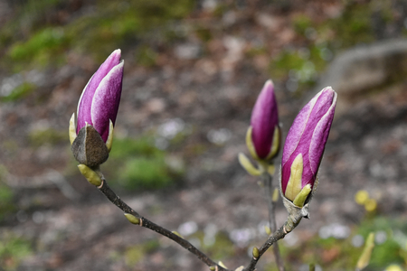 A close up of Magnolia Soulangeana buds Stock Photo - 96437390