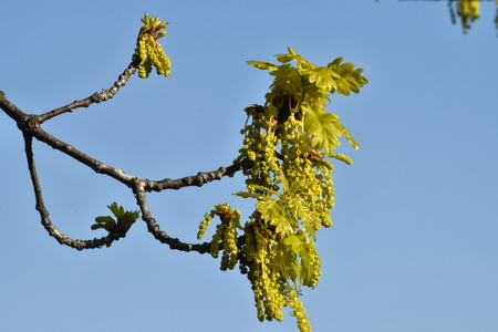 a close up of Pedunculate oak, English oak (Quercus robur) catkins Stock Photo