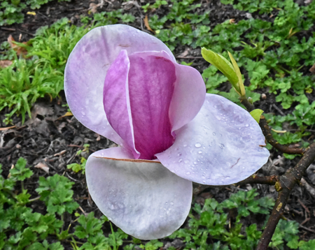 Close up of a single flower of a Saucer magnolia (Magnolia soulangeana), strating to unfold from a large bud. Stock Photo