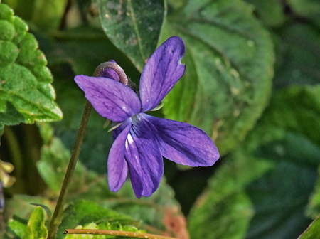 A close up of a single flower of a hairy violet (Viola hirta)