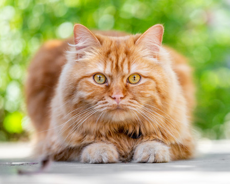 A ginger cat crouching on the ground with two paws showing looking at the camera.