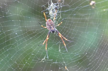 unsuspecting: Golden Orb Weaving Spider. A Golden Orb Weaving Spider waiting in her web for unsuspecting prey.