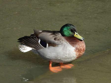 Male Mallard duck standing on a submerged ledge in Ifield Millpond Banco de Imagens