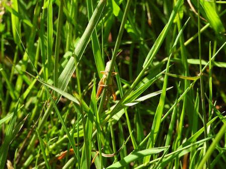 A grasshopper on a blade of grass