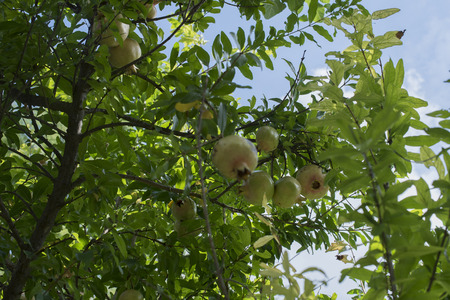 pommegranates: Pomegranate tree with ripe fruits, green leaves in the background and the blue sky with white clouds. Italian fruit peel yellow green.