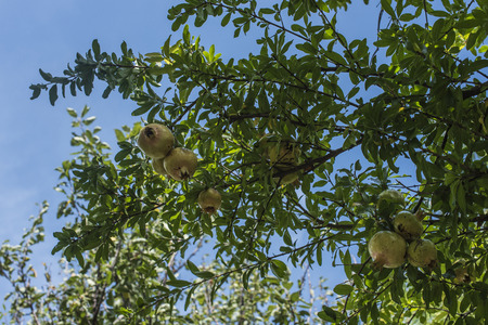 pommegranate: Pomegranate tree with ripe fruits, green leaves in the background and the blue sky with white clouds. Italian fruit peel yellow green.