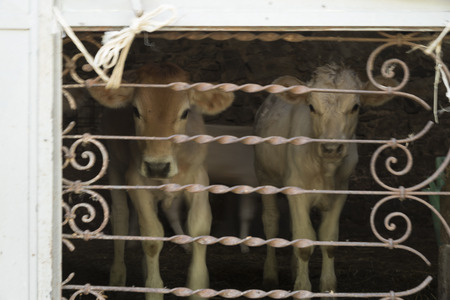 ghost rock: Old Roscigno, Cilento, two calves from milk, one white and one brown. lattice wrought iron with floral motifs.