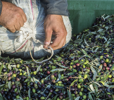 extra virgin: Olive Cilento. delivery of the olives. Production of extra virgin olive Italian. Delivery of the olives in sacks. Stock Photo