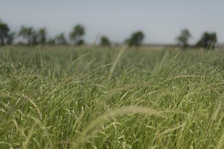 fodder corn: Italian landascape. Field of forage Stock Photo