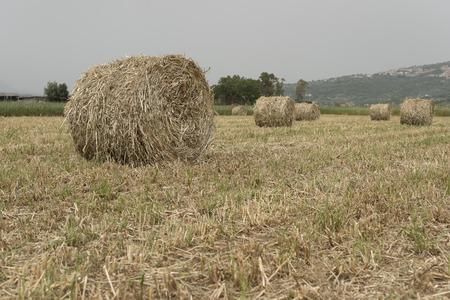 fodder corn: Freshly chopped forage and crop wheel. Italian landascape. Stock Photo