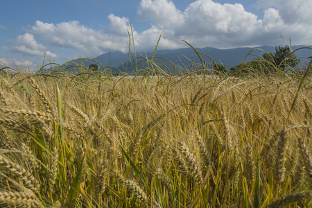 made in italy: field of ripe wheat, golden, ripe ears in the blue sky. Italian food. Made in Italy. Stock Photo
