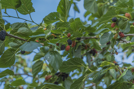 blacks: mulberry blacks. Branch with blacks and red fruits on the background blue sky.