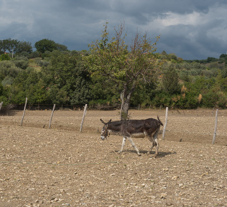 mediterranea: Donkey in the Mediterranea countryside in the south of Italy